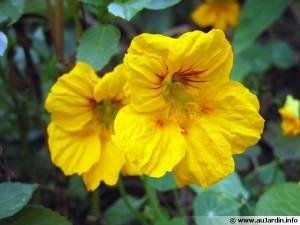 tropaeolum-majus-fleur-600x450